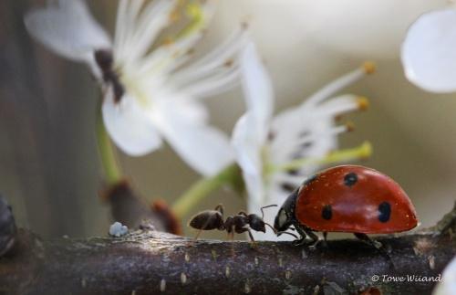 Nyckelpiga och myra