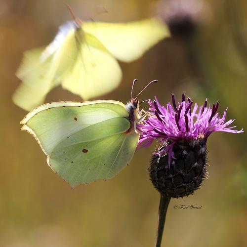 Fjärilar_5