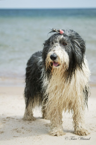 Bearded_collie