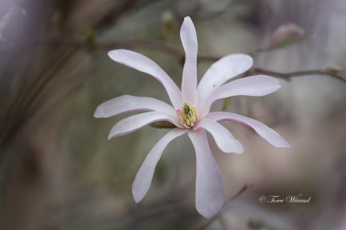 Magnolia_2
