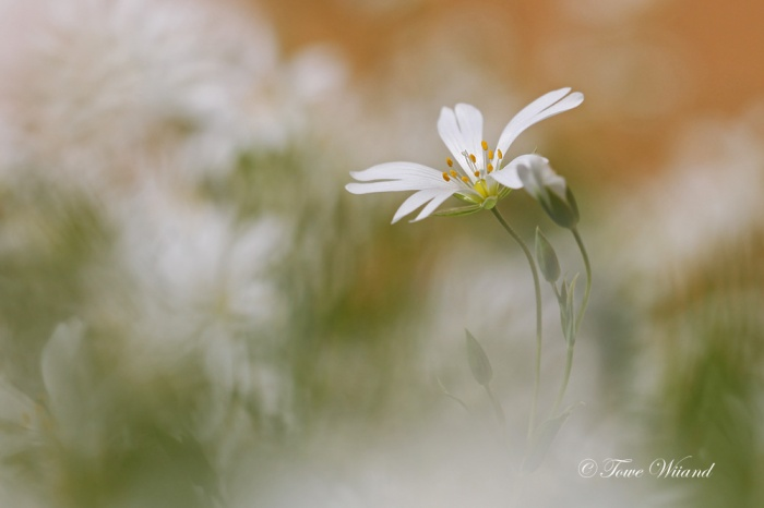vita_små_blommor