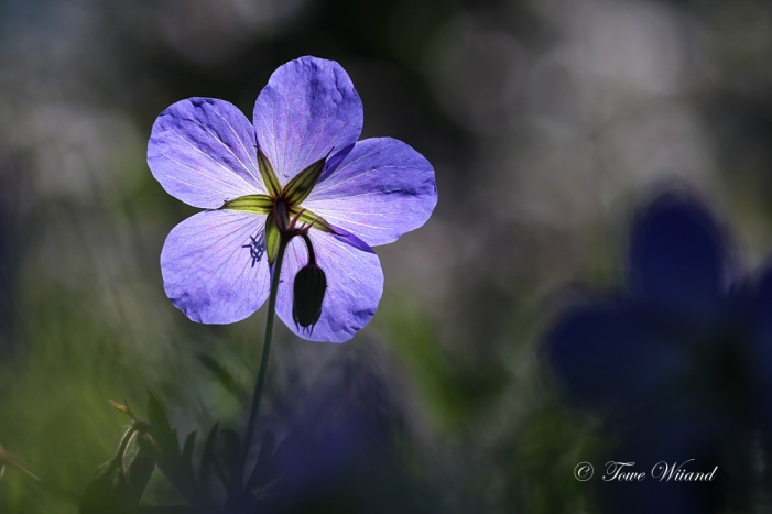 Blå_blomma_2