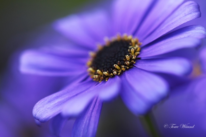 Blå_blomma_3