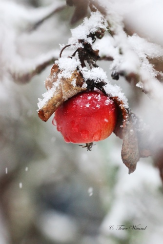 vinter_apple